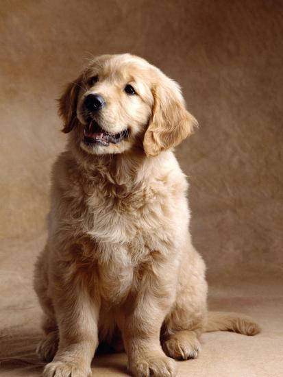 Golden Retriever Puppy-Don Mason-Photographic Print