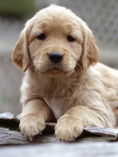 Golden Retriever Puppy Photographic Print by | Art com