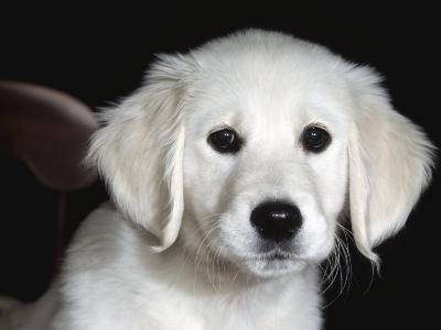 Golden Retriever Puppy-Lynn M^ Stone-Photographic Print