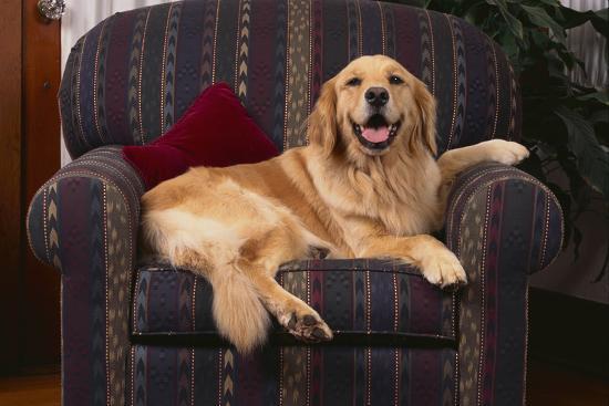Golden Retriever Resting in Armchair-DLILLC-Photographic Print
