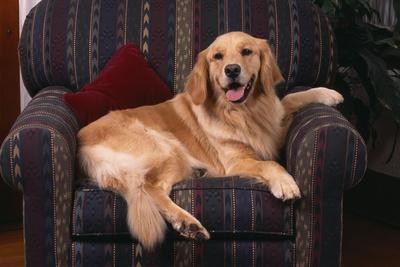 https://imgc.artprintimages.com/img/print/golden-retriever-sitting-in-armchair_u-l-pzr90l0.jpg?p=0