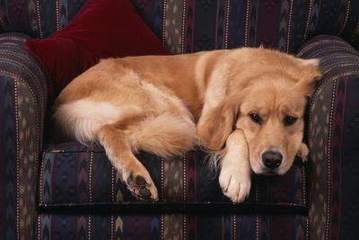 Golden Retriever Sitting in Armchair-DLILLC-Photographic Print