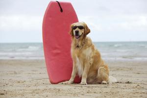 Golden Retriever Wearing Sunglasses Next to Surf Board
