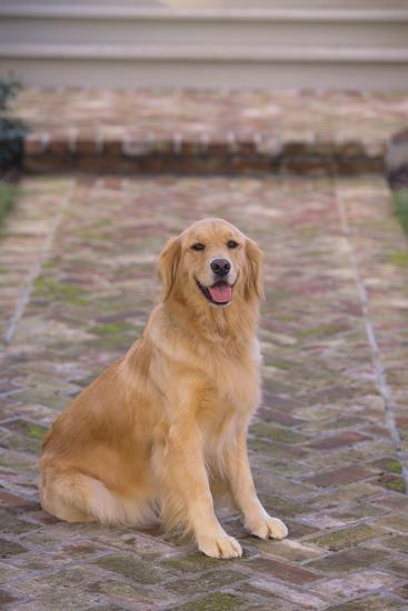 Golden Retriever-DLILLC-Photographic Print