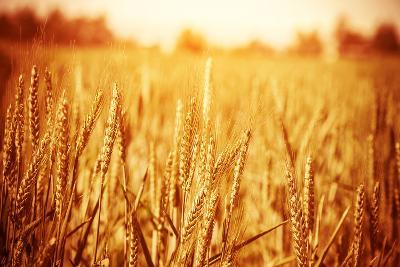 Golden Ripe Wheat Field, Sunny Day-Anna Omelchenko-Photographic Print