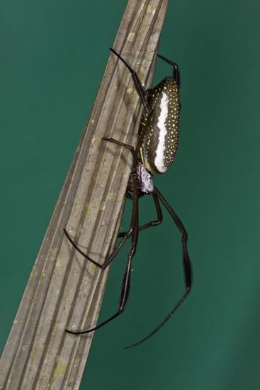 Golden Silk Spider, Yasuni NP, Amazon Rainforest, Ecuador-Pete Oxford-Photographic Print