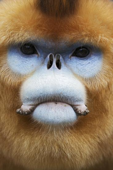 Golden Snub-Nosed Monkey (Rhinopithecus Roxellana Qinlingensis) Adult Male Portrait-Florian Möllers-Photographic Print