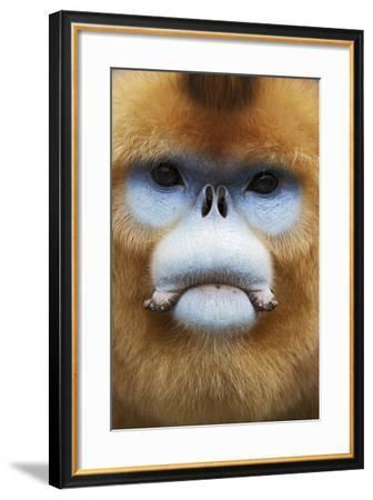 Golden Snub-Nosed Monkey (Rhinopithecus Roxellana Qinlingensis) Adult Male Portrait-Florian Möllers-Framed Photographic Print