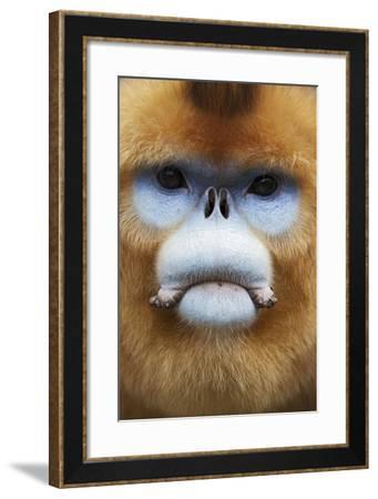 Golden Snub-Nosed Monkey (Rhinopithecus Roxellana Qinlingensis) Adult Male Portrait-Florian Möllers-Framed Photographic Print