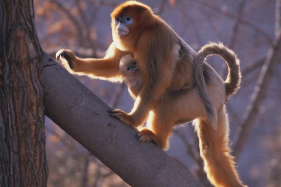 Golden Snub-Nosed Monkey with Baby Climbing Tree-DLILLC-Photographic Print