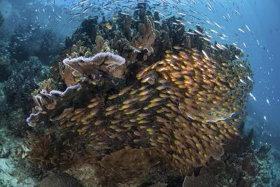 Golden Sweepers Swim under a Coral Bommie in Raja Ampat, Indonesia-Stocktrek Images-Photographic Print