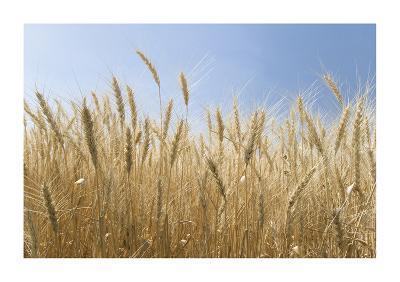 Golden Wheat-Donald Paulson-Giclee Print
