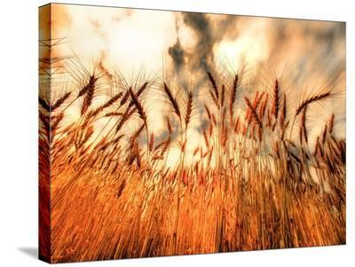 Golden Wheat-Dale MacMillan-Stretched Canvas Print