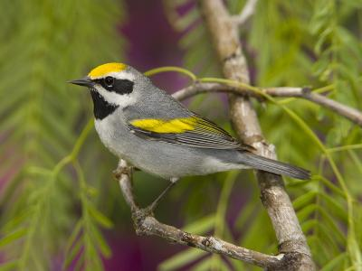 Golden-Winged Warbler (Vermivora Chrysoptera) Male Perched on Branch, Rio Grande Valley, Texas-Tom Vezo/Minden Pictures-Photographic Print