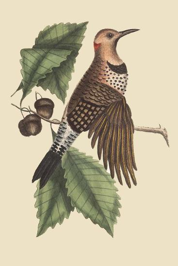 Golden Winged Woodpecker-Mark Catesby-Art Print