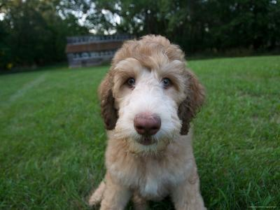 Goldendoodle Puppy Sits in Freshly Mowed Grass-Joel Sartore-Photographic Print