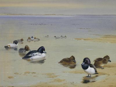 Goldeneye and Tufted Duck-Archibald Thorburn-Giclee Print