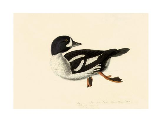 Goldeneye-John James Audubon-Giclee Print