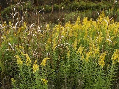 Goldenrods Near Dequeen, Arkansas, Usa-Tim Fitzharris-Photographic Print