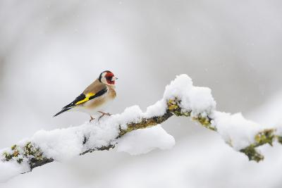 Goldfinch (Carduelis Carduelis) Perched on a Snow Covered Branch, Perthshire, Scotland, UK, April-Fergus Gill-Photographic Print