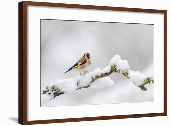 Goldfinch (Carduelis Carduelis) Perched on a Snow Covered Branch, Perthshire, Scotland, UK, April-Fergus Gill-Framed Photographic Print