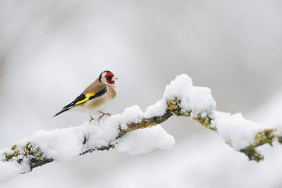 https://imgc.artprintimages.com/img/print/goldfinch-carduelis-carduelis-perched-on-a-snow-covered-branch-perthshire-scotland-uk-april_u-l-q10o3ns0.jpg?p=0