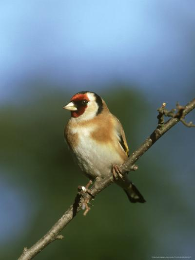 Goldfinch, Carduelis Carduelis Perched on Small Branch UK-Mark Hamblin-Photographic Print