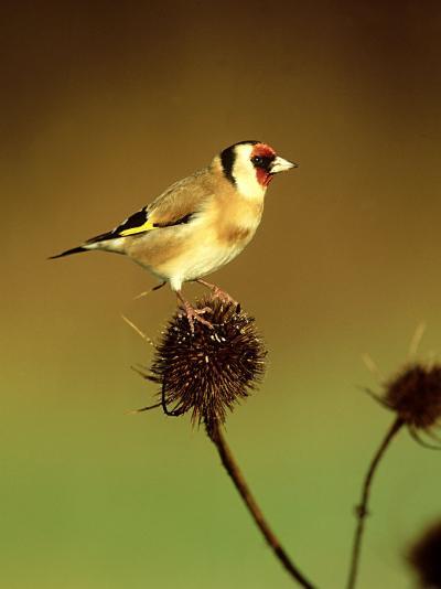 Goldfinch on Teasel, UK-David Tipling-Photographic Print