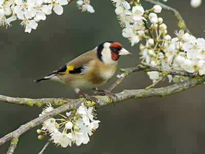 Goldfinch Perched Amongst Blackthorn Blossom, Hertfordshire, England, UK-Andy Sands-Photographic Print