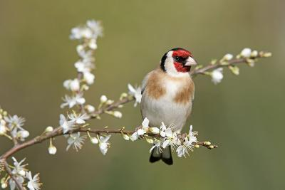 Goldfinch Spring Blossom--Photographic Print