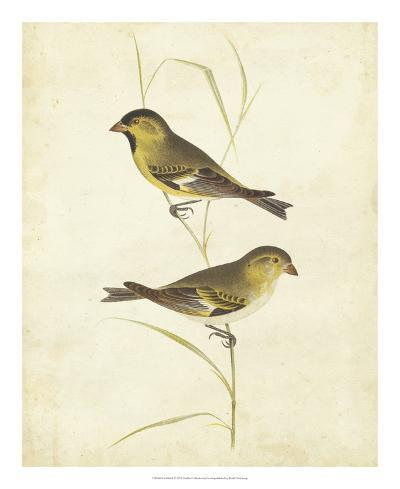 Goldfinch-Cassin-Giclee Print