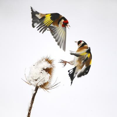 Goldfinches (Carduelis Carduelis) Squabbling over Teasel Seeds in Winter. Cambridgeshire, UK-Mark Hamblin-Photographic Print