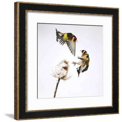 Goldfinches (Carduelis Carduelis) Squabbling over Teasel Seeds in Winter. Cambridgeshire, UK-Mark Hamblin-Framed Photographic Print