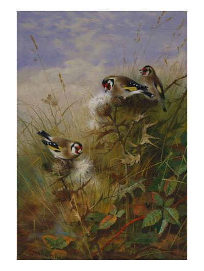 Goldfinches on Thistles-Archibald Thorburn-Giclee Print