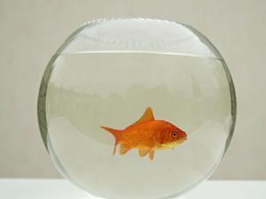 Goldfish Alone in Goldfish Bowl