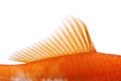 https://imgc.artprintimages.com/img/print/goldfish-dorsal-fin_u-l-q11vfzi0.jpg?p=0