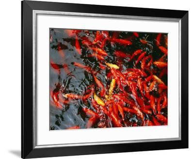 Goldfish in a Pond at Biyun Si, Fragrant Hills Park, Beijing, China-Krzysztof Dydynski-Framed Photographic Print