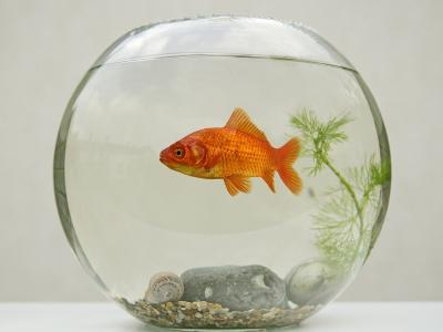 Goldfish in Goldfish Bowl with Weed--Photographic Print
