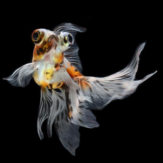 Goldfish Isolated on Black Background- bluehand-Photographic Print