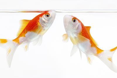 Goldfish Swimming in Water-Herbert Kehrer-Photographic Print