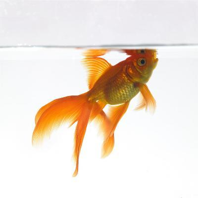 Goldfish Swimming Just Below the Surface of the Water-Mark Mawson-Photographic Print