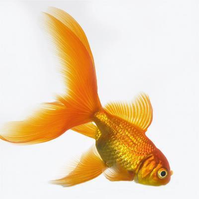 Goldfish-Mark Mawson-Photographic Print