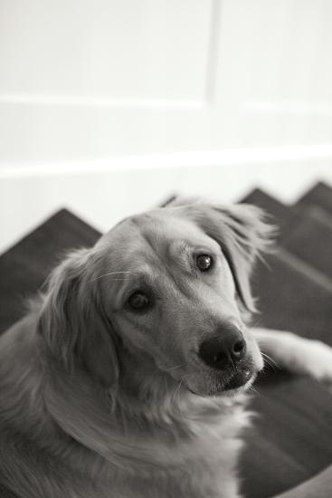 Goldie I Black and White-Karyn Millet-Photographic Print