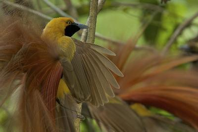Goldie's Bird of Paradise at Display Site in the Canopy Performing their Courtship Display-Tim Laman-Photographic Print