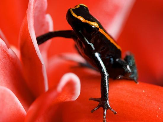 Golfo Dulce Poison Dart Frog, Frog Sitting on Pink Flower, Costa Rica-Roy Toft-Photographic Print