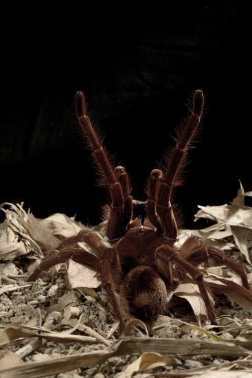 Goliath Bird-Eating Spider (Theraphosa Leblondii - Blondi) Aggressive Display-Daniel Heuclin-Photographic Print