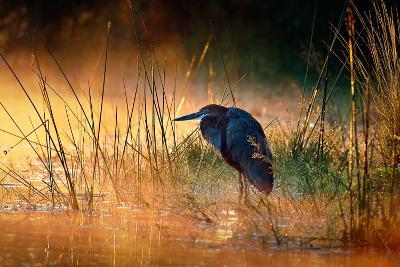 Goliath Heron (Ardea Goliath) with Sunrise over Misty River - Kruger National Park (South Africa)-Johan Swanepoel-Photographic Print