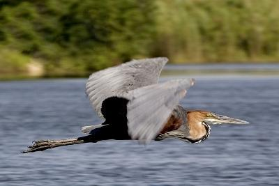 Goliath Heron in Flight-Augusto Leandro Stanzani-Photographic Print