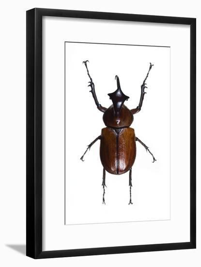 Golofa Scarab Beetle-Lawrence Lawry-Framed Photographic Print