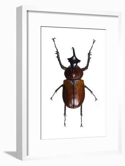 Golofa Scarab Beetle-Lawrence Lawry-Framed Photographic Print